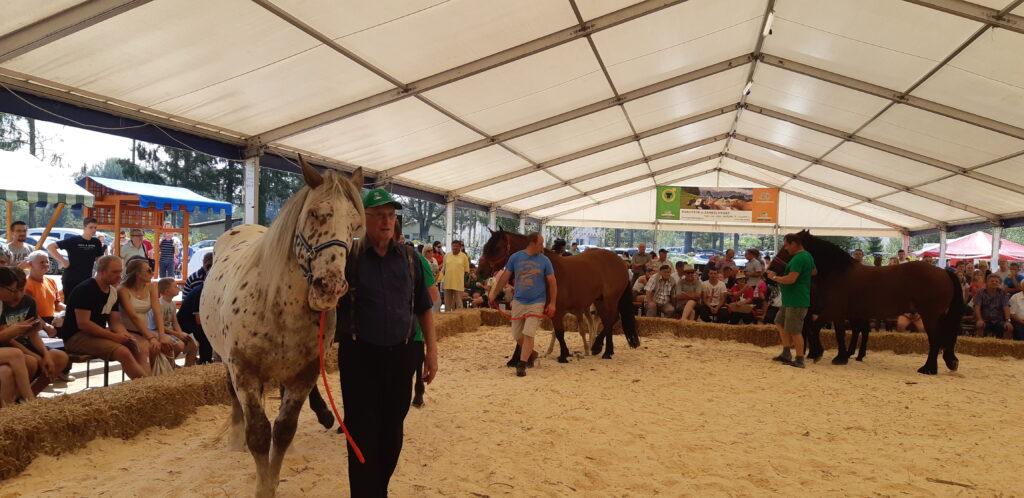 Slovenska hladnokrvna pasma konj v  ocenjevalnem krogu
