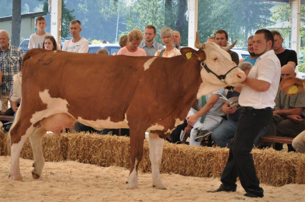 Cilka, rejec France Petrič, 3. mesto mlajše krave LS
