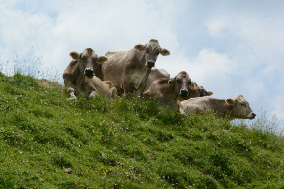 LICITACIJA govedi rjave pasme bo v soboto 17. oktobra 2020  preko družabnih omrežij